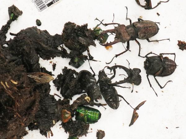 図2:採集された昆虫―ミヤマクワガタなど